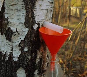 sok z brzozy cena pozyskiwanie