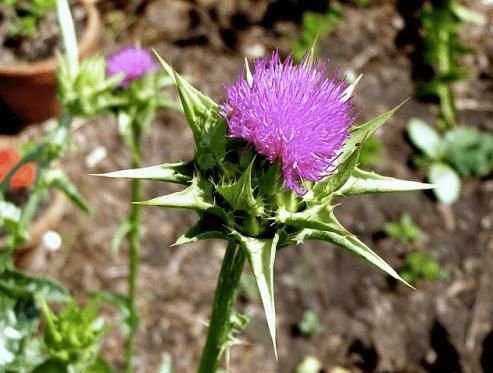 ostropest plamisty mielony naturalna roślinka